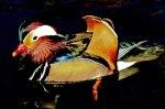 Mandarine Duck