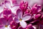 Growing Lilac 2