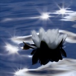 Sparkling Water Lily 1