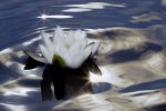 Sparkling Water Lily 2